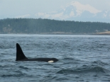 Orca off Victoria, with Mount Olympus in background